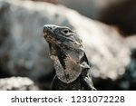 iguana on the beach in mexico... | Shutterstock . vector #1231072228