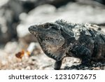 iguana on the beach in mexico... | Shutterstock . vector #1231072675