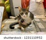 wild tabby cat  | Shutterstock . vector #1231110952