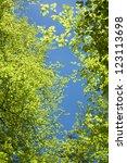 Treetops Of Beech Trees In...