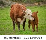 Momma Cow And Calf Sharing A...