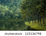 Pine Forest In Calmness