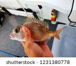 baby snapper caught in moreton... | Shutterstock . vector #1231380778