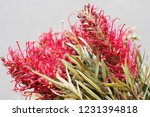 brunia gray flowers | Shutterstock . vector #1231394818
