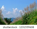 naturally beautiful common reed ...   Shutterstock . vector #1231559608