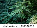 tetrapanax papyrifer evergreen... | Shutterstock . vector #1231578352