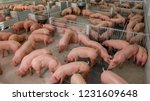curious pigs in pig breeding... | Shutterstock . vector #1231609648