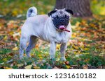 pug dog on the leaves in autumn | Shutterstock . vector #1231610182