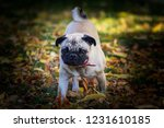 pug dog on the leaves in autumn | Shutterstock . vector #1231610185