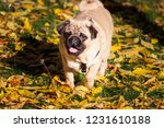 pug dog on the leaves in autumn | Shutterstock . vector #1231610188