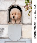 Stock photo a cute golden retriever puppy is sitting in a mailbox looking like a present to a new home 123163465