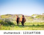two wild ponies  equus caballus ... | Shutterstock . vector #1231697308