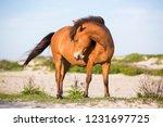 a wild pony  equus caballus  at ... | Shutterstock . vector #1231697725