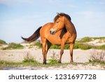 a wild pony  equus caballus  at ... | Shutterstock . vector #1231697728