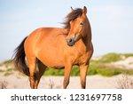 a wild pony  equus caballus  at ... | Shutterstock . vector #1231697758