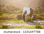 a wild pony  equus caballus ... | Shutterstock . vector #1231697788