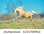 running palomino welsh pony... | Shutterstock . vector #1231700962