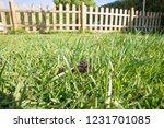 brown dog poop or shit in green ...   Shutterstock . vector #1231701085