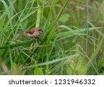 scaly breasted munia  lonchura... | Shutterstock . vector #1231946332