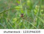 scaly breasted munia  lonchura... | Shutterstock . vector #1231946335