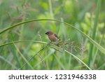 scaly breasted munia  lonchura... | Shutterstock . vector #1231946338