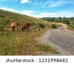 cows graze by the roadside   Shutterstock . vector #1231998682