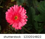colorful pink gerbera daisy in... | Shutterstock . vector #1232014822