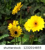 colorful yellow gerbera daisy... | Shutterstock . vector #1232014855