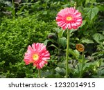 colorful pink gerbera daisy in... | Shutterstock . vector #1232014915