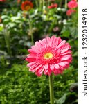 colorful pink gerbera daisy in... | Shutterstock . vector #1232014918