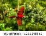 red parrot in flight. macaw... | Shutterstock . vector #1232148562