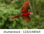 red parrot in flight. macaw... | Shutterstock . vector #1232148565