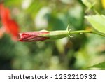 bud red hibiscus syriacus... | Shutterstock . vector #1232210932
