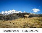 llamas  alpaca  in andes... | Shutterstock . vector #1232226292