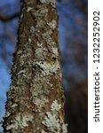 birch bark  b tula a genus of... | Shutterstock . vector #1232252902