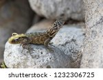 northern curly tailed lizard... | Shutterstock . vector #1232306725