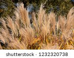 dry reeds. reed macro on the...   Shutterstock . vector #1232320738