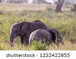 elephants fighting on the... | Shutterstock . vector #1232422855