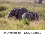elephants fighting on the... | Shutterstock . vector #1232422882