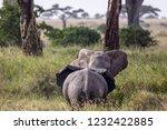 elephants fighting on the... | Shutterstock . vector #1232422885