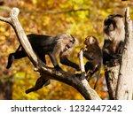 beard ape in german zoo | Shutterstock . vector #1232447242