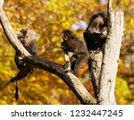 beard ape in german zoo | Shutterstock . vector #1232447245