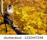 beard ape in german zoo | Shutterstock . vector #1232447248