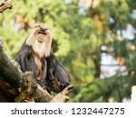 beard ape in german zoo | Shutterstock . vector #1232447275