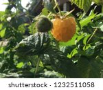 yellow raspberry and the green... | Shutterstock . vector #1232511058