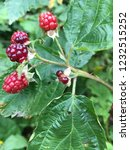 wild raspberry at the branch... | Shutterstock . vector #1232515252