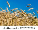 spikes of golden wheat. harvest ... | Shutterstock . vector #1232598985