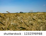 spikes of golden wheat. harvest ... | Shutterstock . vector #1232598988
