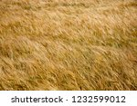 spikes of golden wheat. harvest ... | Shutterstock . vector #1232599012