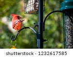 Male Cardinal Posing For The...
